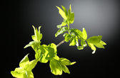 Young foliage on twig, on grey background — Stock Photo