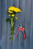 Beautiful bouquet of yellow chrysanthemum with pruner on wooden background — Stock Photo