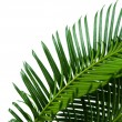 Green palm branches on light background — Stock Photo #72757259