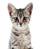 Cute kitten isolated on white — ストック写真