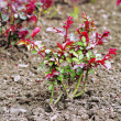 Planted bush of roses over soil background — Stock Photo #72764977