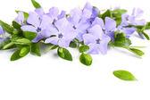 Purple periwinkle isolated on white — Stock Photo