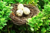 Wicker nest with eggs — Stock Photo
