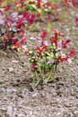 Planted bush of roses over soil background — Stock Photo