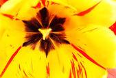 Closeup schöne frische Tulpe — Stockfoto