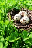 Nest with bird eggs over green bush background — Stock Photo