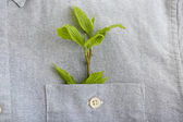 Twig with fresh leaves in shirt pocket, close up — Stock Photo