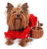 Cute Yorkshire terrier dog isolated on white — Stock Photo