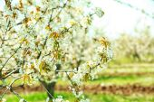 Spring blooming cherry garden — Stock Photo