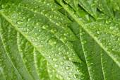 Beautiful green leaves with water drops close up — Stock Photo