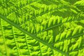 Close up of fresh green leaf with veins — ストック写真