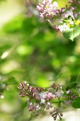 Branch of lilac on blurred background — Stock Photo