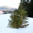 Fir trees in snow over blue sky — Stock Photo #73325527