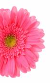 Beautiful bright gerbera — Stock Photo