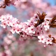 Постер, плакат: Cherry blossoms background
