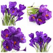Collage of purple crocus isolated on white — Stockfoto