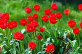 Beautiful tulips blooming in garden — Stock Photo