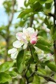 Pobočka kvetoucí strom, detail — Stock fotografie