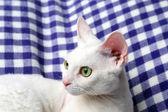 Beautiful white cat on plaid — Stock Photo