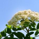 Flowering branch of rowan tree over blue sky background — Stock Photo #73974493