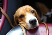 Chiuda il buffo cane sveglio in auto — Foto Stock