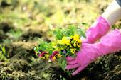 Female hands in pink gloves planting flowers, close-up — Stock Photo