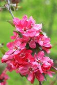 Branch of flowering tree, closeup — Stock Photo