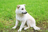 White stray dog over green grass background — Stockfoto