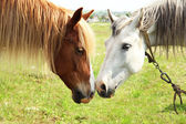 Two beautiful horses on meadow, closeup — Stock Photo