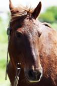 Portrait of beautiful brown horse, outdoors — Stock Photo