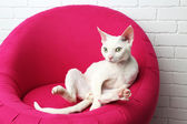 Beautiful white cat on soft pink armchair in room — Stock Photo