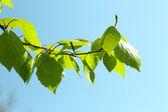 Beautiful green twigs on blue sky background — Stockfoto