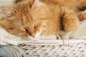 Red cat resting — Stock Photo