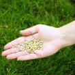 Wheat grain in female hand on green grass background — Stock Photo #75504397