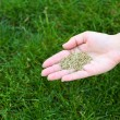 Wheat grain in female hand on green grass — Stock Photo #75759229