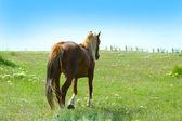 Beau cheval brun pâturage sur Prairie — Photo