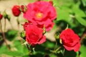 Beautiful roses on green bush in garden — Stock Photo