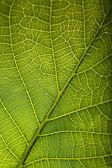 Liść zielony z bliska — Zdjęcie stockowe