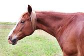 放牧对草地的美丽匹棕色的马 — 图库照片