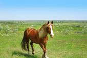 Beautiful brown horse grazing on meadow — Stock Photo