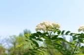 Flowering branch of rowan tree over blue sky background — Stock Photo