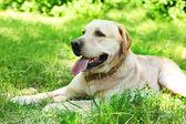 Söt hund vilar över grönt gräs bakgrund — Stockfoto