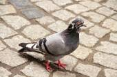 Dove walking on town square — Stock Photo
