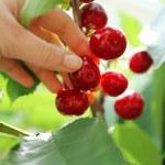 Female hand picking cherries from branch in garden — Stock Photo #77246002
