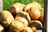 New potatoes in wooden crate, closeup — Stock Photo
