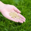 Wheat grain in female hand on green grass background — Stock Photo #77448438