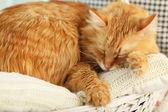 Rote Katze drinnen ruhen — Stockfoto
