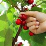 Female hand picking cherries from branch in garden — Stock Photo #77568856