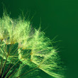 Beautiful dandelion with water drops on green background — Stock Photo #77569942