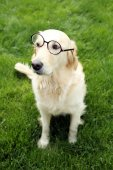 Adorable Labrador in glasses — Stock Photo